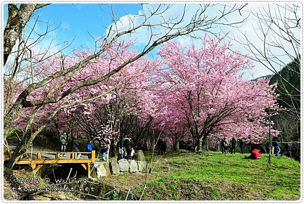 2012武陵櫻花26.JPG