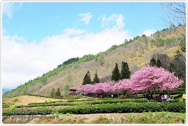 2012武陵櫻花8.JPG